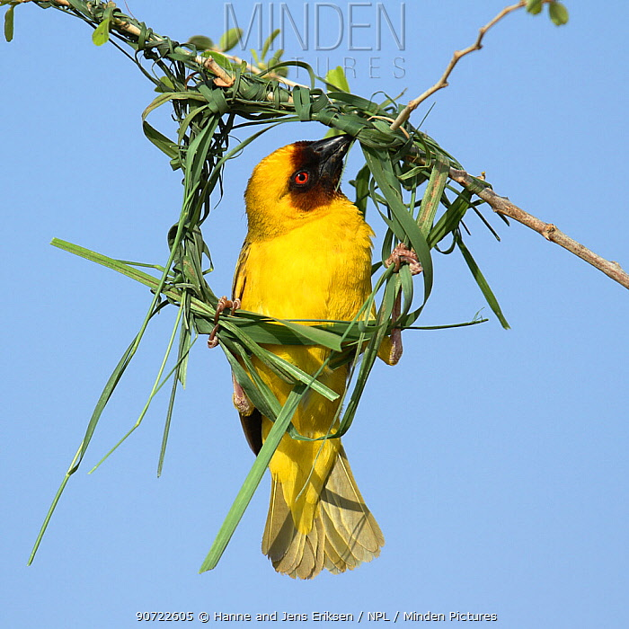 Ruppell's weaver (Ploceus galbula) male building nest, Oman, May