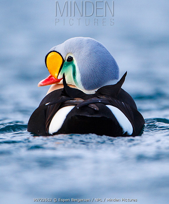 Adult male King Eider (Somateria spectabilis) portrait from behind also showing triangular black sails on the back and white sides of rump. Batsfjord, Norway, March.
