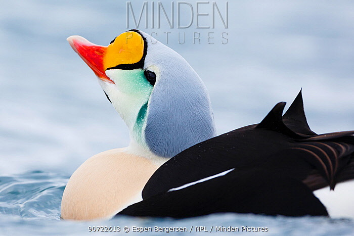 Adult male King Eider (Somateria spectabilis) portrait, Batsfjord, Norway, March.