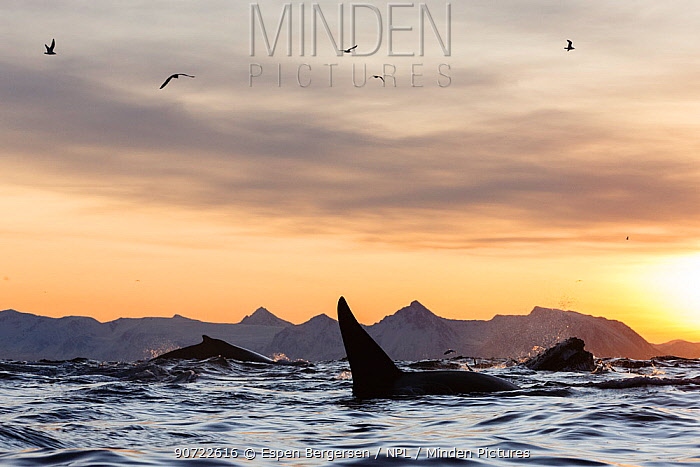 Humpback whales (Megaptera novaeangliae) and Killer whale (Orcinus orca) feeding on a bait ball of Herring. Andfjorden close to Andoya, Nordland, Northern Norway. January.