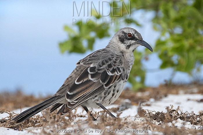 Espanola mockingbird (Mimus macdonaldi) on beach, Galapagos