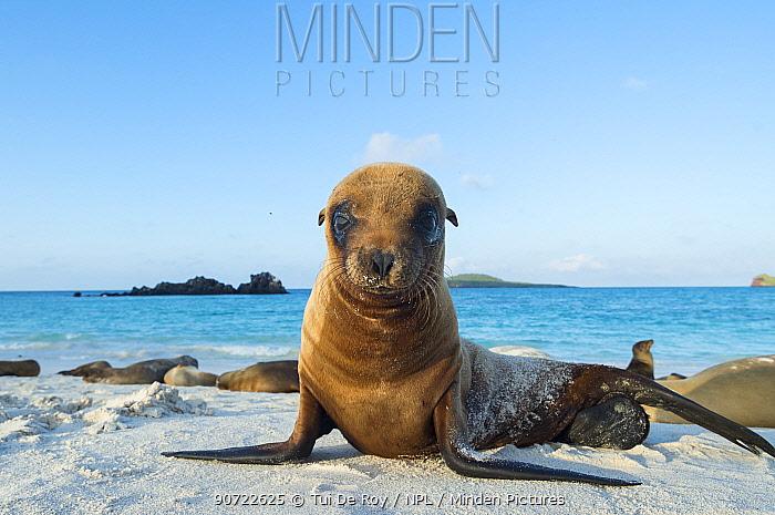 Galapagos sea lion (Zalophus wollebaeki) juvenile on beach, Galapagos