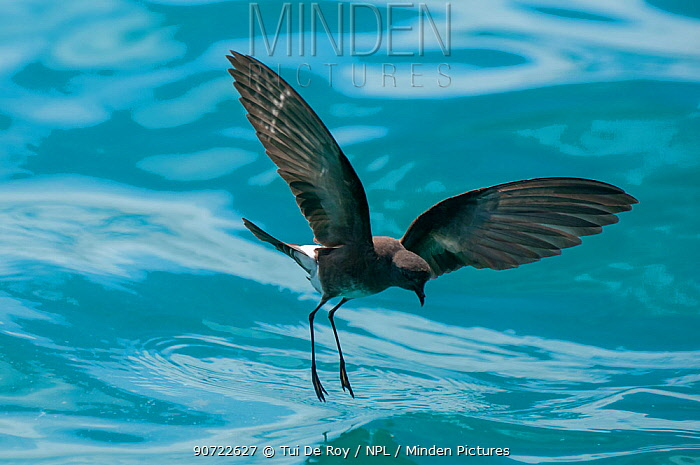 White-vented storm petrel (Oceanites gracilis galapagoensis) 'walking' on surface of water whilst foraging, Galapagos