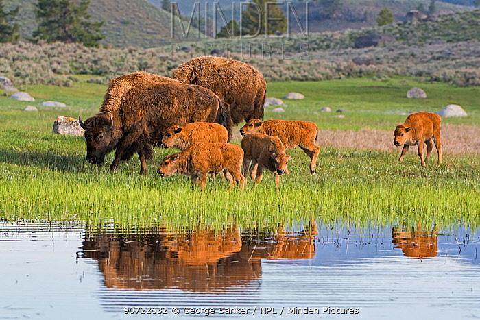 American Buffalo or Bison (Bison bison) group with calves, Yellowstone National Park, Wyoming, USA, May