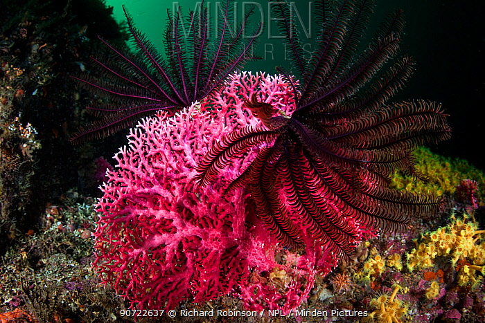 Featherstar (Crinoidea) on red coral (Errina novazelandiae) in Doubtful Sound, Fiordland National Park, New Zealand.