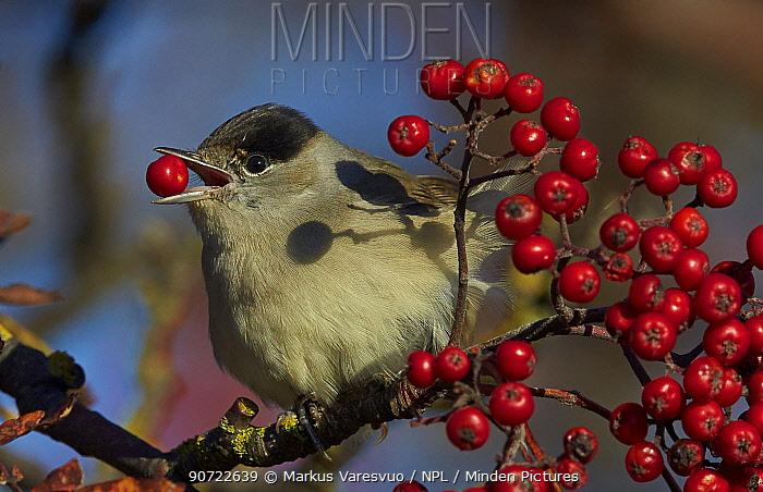 Blackcap (Sylvia atricapilla) feeding on berries, Uto, Finland, October.