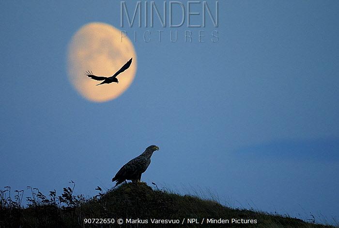 White-tailed eagle (Haliaeetus albicilla) and hooded crow (Corvus cornix), Norway, October.