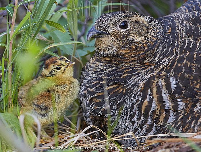Black grouse (lyrurus tetrix) female and chick at nest, Vaala, Finland, June.
