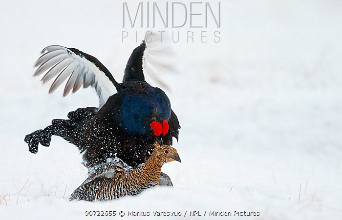 Black grouse (Lyrurus tetrix) mating in snow, Utajarvi, Finland, May.