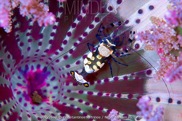 Peacock-tail anemone shrimp (Periclimenes brevicarpalis) living commensally with the Branching Sea Anemone (Actinodendron glomeratum). Lembeh Strait, North Sulawesi, Indonesia.