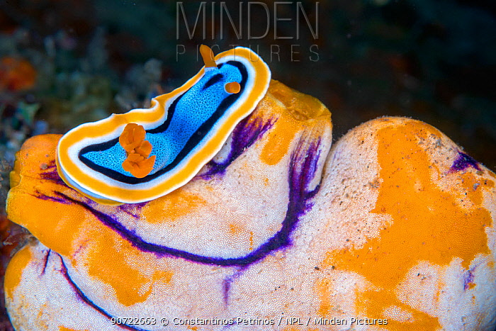 Chromodorid nudibranch (Chromodoris annae) on Sea Squirt (Polycarpa aurata) Lembeh Strait, North Sulawesi, Indonesia.