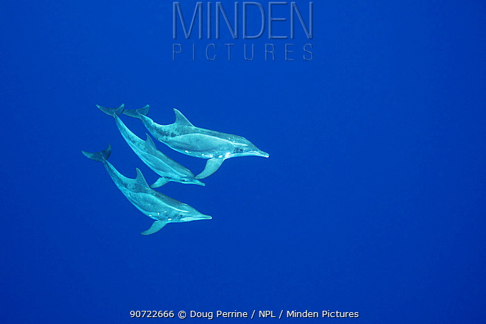 Rough-toothed dolphins (Steno bredanensis) Keauhou, Kona, Hawaii, USA, Central Pacific Ocean.