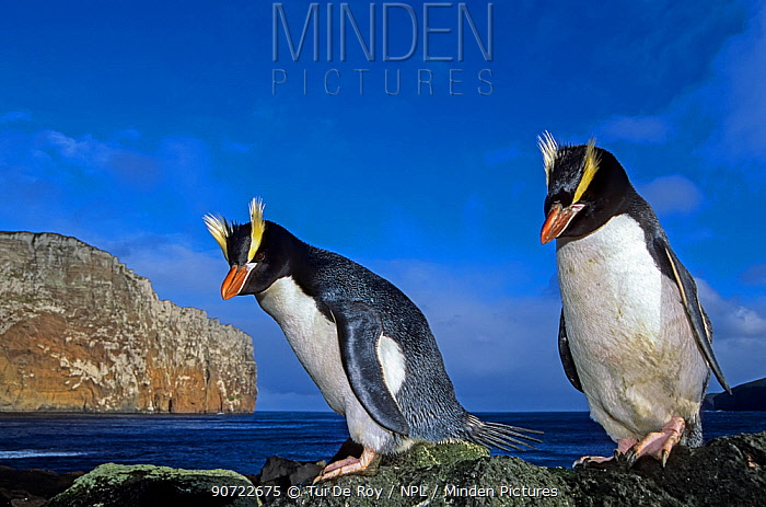 Erect-crested penguin (Eudyptes sclateri) pair. Antipodes Island, New Zealand Sub-Antarctic Islands. Endemic to Antipodes and Bounty Islands. Endangered species.
