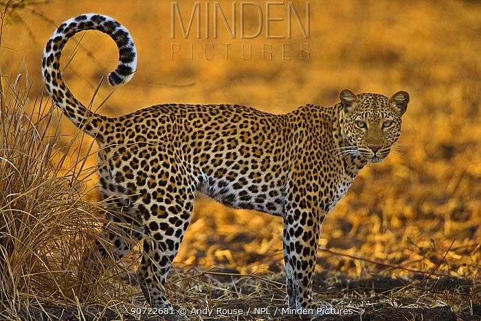 African leopard (Panthera pardus) South Luangwa, Zambia.