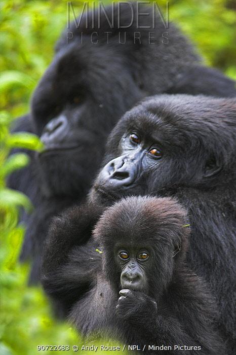 Mountain gorilla (Gorilla beringei beringei) mother with young, and silverback in background. Virunga Mountains, Rwanda
