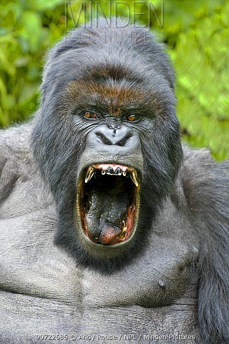 Mountain gorilla (Gorilla beringei) silverback yawning with mouth wide open. Rwanda.