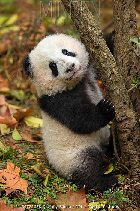 Giant panda (Ailuropoda melanoleuca) Chengdu, China. Endangered species, captive.