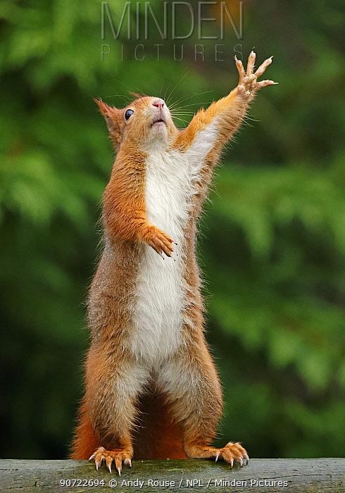 Red squirrel (Sciurus vulgaris) reaching upwards, UK. Captive.