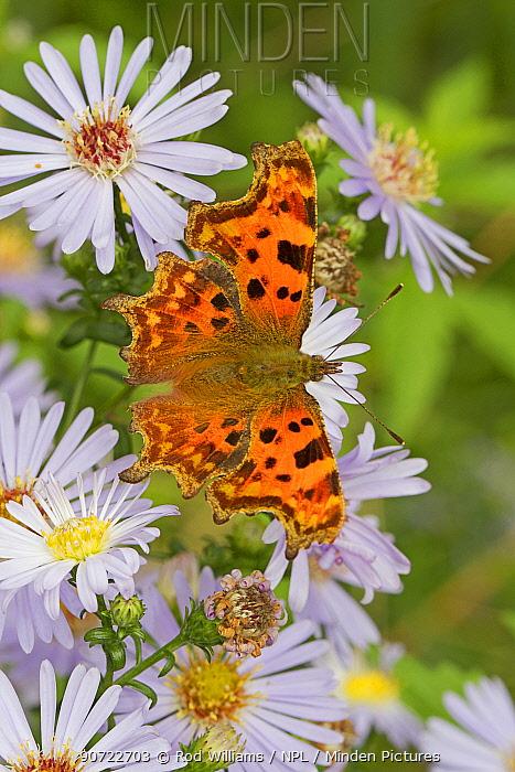 Comma butterfly   (Polygonia c-album) feeding on wild aster, Sutcliffe Park Nature Reserve, Eltham, London, UK, September.