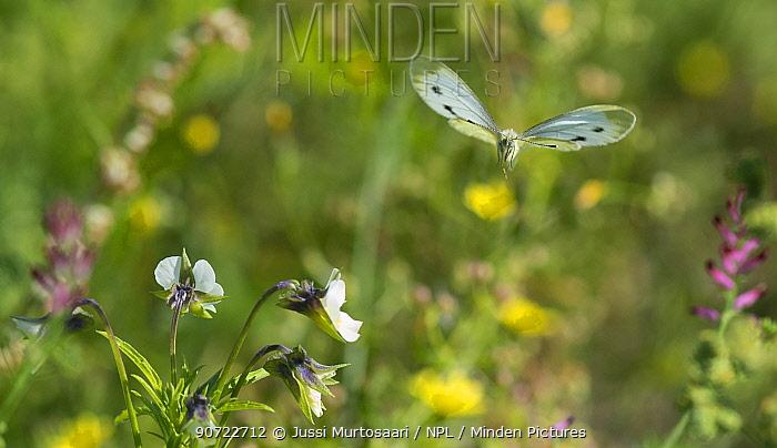 Green-veined white butterfly (Pieris napi) in flight, Jyvaskyla, Keski-Finland / Central Finland, Finland, September.