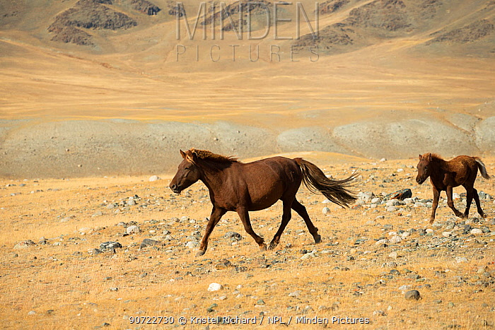 Wild Mongolian mare and her foal trotting, plains at the foot of Dungurukh Uul mountain, near the border with China and Kazakhstan, Bayan-Olgiy aymag, Mongolia. September.