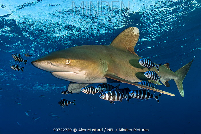 Oceanic whitetip shark (Carcharhinus longimanus) accompanied by pilotfish (Naucrates ductor) as it cruises beneath the surface of the Red Sea, close to Little Brother Island. The Brothers Islands, Egypt. Red Sea. Endangered species.