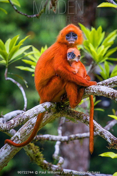 Red leaf monkey (Presbytis rubicunda) mother holding baby, Danum Valley, Sabah, Borneo, Malaysia August.