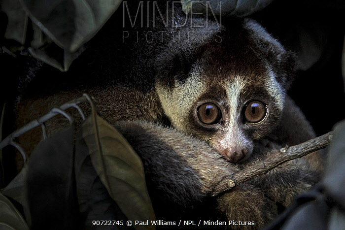 Javan slow loris (Nycticebus javanicus) rescued by Jakarta Animal Aid Network (JAAN), in holding cage, Animal rescue centre, Jakarta, Indonesia. Critically Endangered. Post production to remove light reflection in eyes.