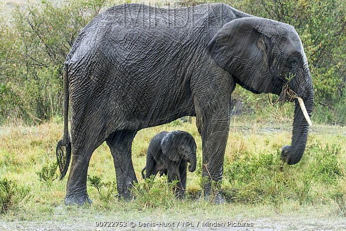 African elephant (Loxodonta africana) female and calf in rain, Masai-Mara Game Reserve, Kenya, September.