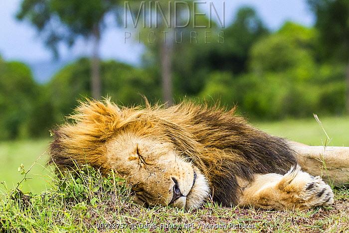 Lion (Panthera leo) male resting, Masai Mara Game Reserve, Kenya, November.