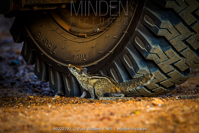 Indian palm squirrel (Funambulus palmarum) near car tyre, Sri Lanka, October.