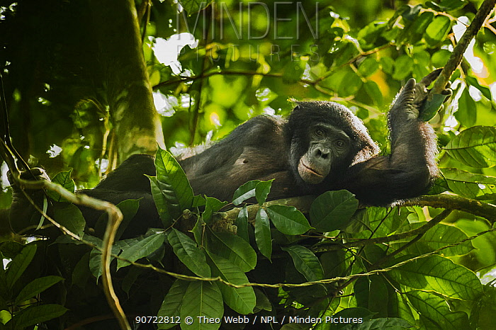 Bonobo (Pan paniscus) lying in a day nest, Max Planck research site, LuiKotale, Salonga National Park, Democratic Republic of Congo.