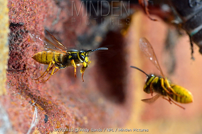 German wasp (Vespula germanica) worker carrying rubbish, flying out of nest in air brick, Hertfordshire, England, UK.  July