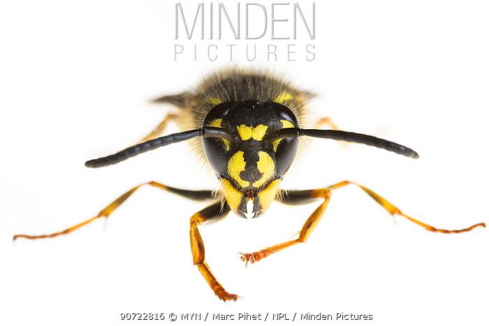 Common wasp (Vespula vulgaris), Maine-et-Loire, France, November. meetyourneighbours.net project