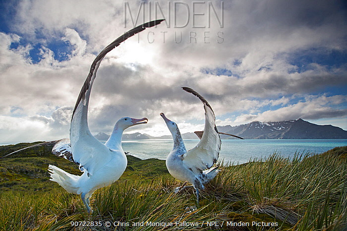 Wandering albatross (Diomedea exulans), engaged in mating display. South Georgia Island, Southern Ocean.  -  Chris and Monique Fallows