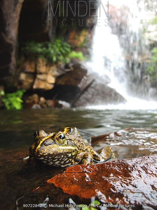 Cape river frog (Amietia fuscigula) resting near waterfall, Cederberg, South Africa, December.