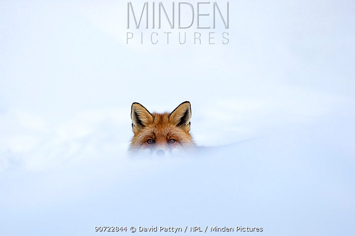 European red fox (Vulpes vulpes crucigera) in deep snow, with just eyes and ears visible above snow. Gran Paradiso National Park, Italy. December