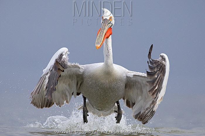 Dalmatian pelican (Pelecanus crispus) taking off from water, Lake Kerkini, Greece. February. Vulnerable species.