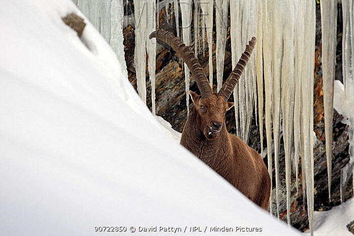 Alpine ibex (Capra ibex) male in deep snow with icicles behind, Gran Paradiso National Park, Italy. December