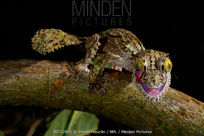 Mossy leaf-tailed gecko (Uroplatus sikorae) grooming eye, captive, occurs in Madagascar.