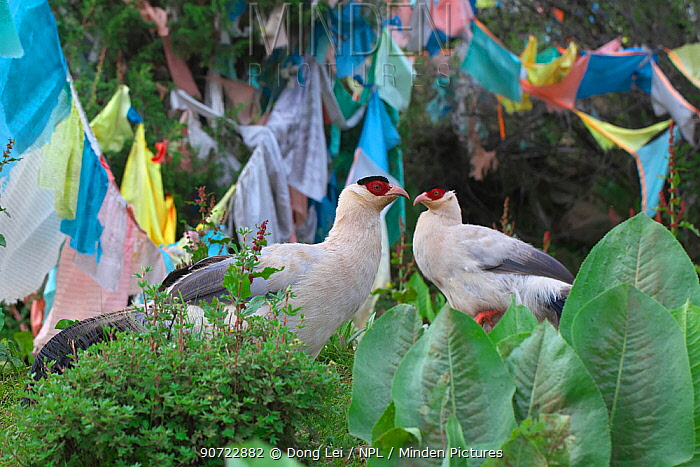 White eared-pheasant (Crossoptilon crossoptilon) two in front of Buddhist prayer flags, Sichuan Province, China, July.