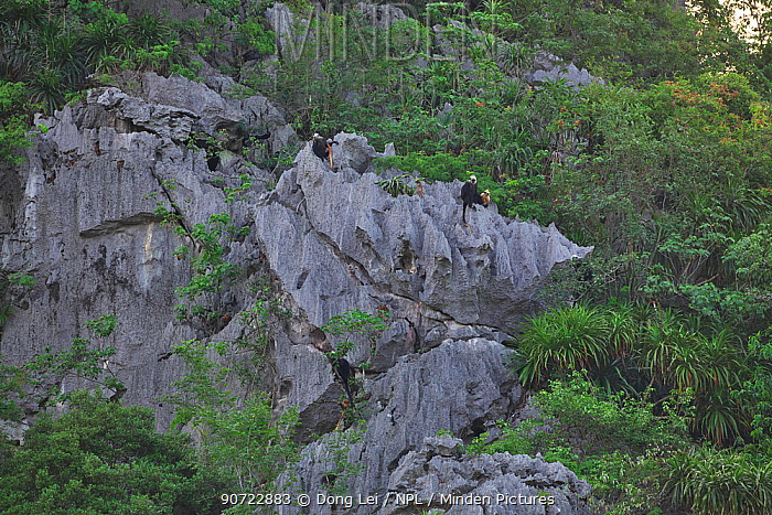 White-headed black langurs ( Trachypithecus poliocephalus leucocephalus) group on cliffs, Guangxi province, China, July. Critically endangered species.