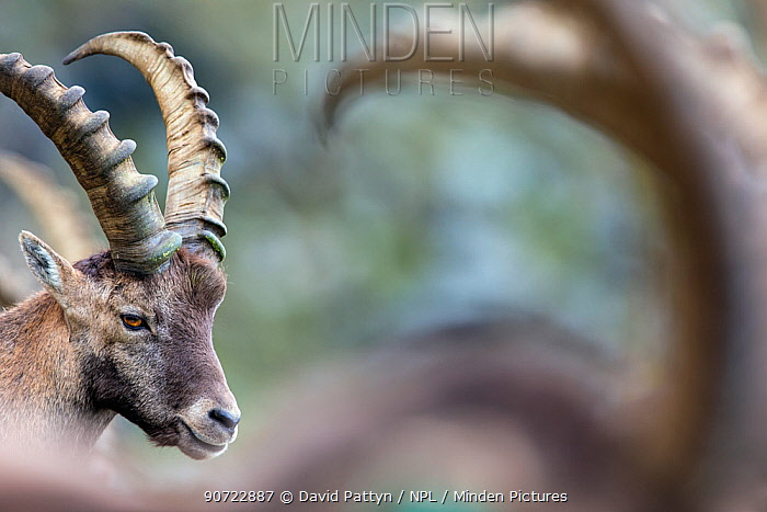 Alpine ibex (Capra ibex), portrait of young male. Alps, Aosta Valley, Gran Paradiso National Park, Italy. September.