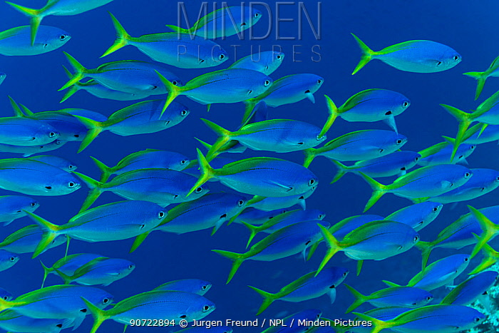 Blue and yellow fusiliers (Caesio teres) shoal, Great Barrier Reef, Queensland, Australia.