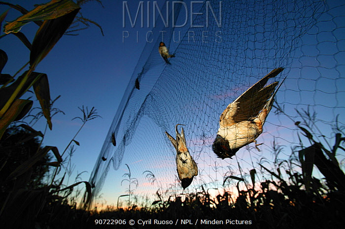 Barn swallows (Hirundo rustica) caught in mist net, ready to be ringed, measured and released. Pitou, France.