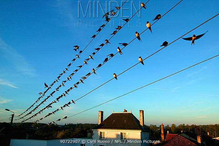 Flock of Barn swallows (Hirundo rustica) perched on power lines during migration,  France. September.