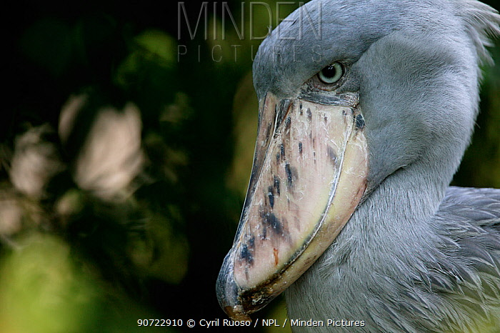 Shoebill (Balaeniceps rex) portrait, captive at Singapore Zoo. Occurs in Africa.