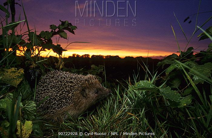 European hedgehog (Erinaceus europaeus) at dusk, Picardy, France.