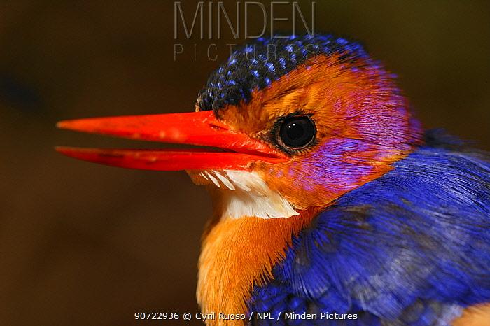Pygmy kingfisher (Ceyx picta) portrait, Cross River State, Nigeria.