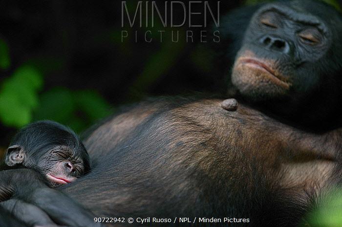 Bonobo (Pan paniscus) mother resting with her newborn baby, Lola Ya Bonobo Sanctuary, Republic of the Congo.